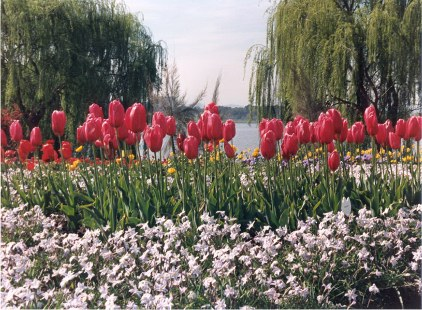 Red tulips and other flowers