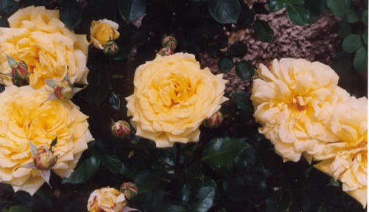 Group of pale yellow roses